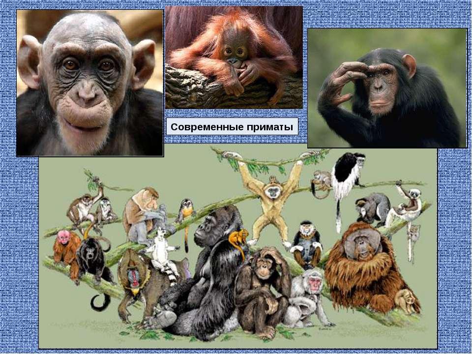Современные приматы