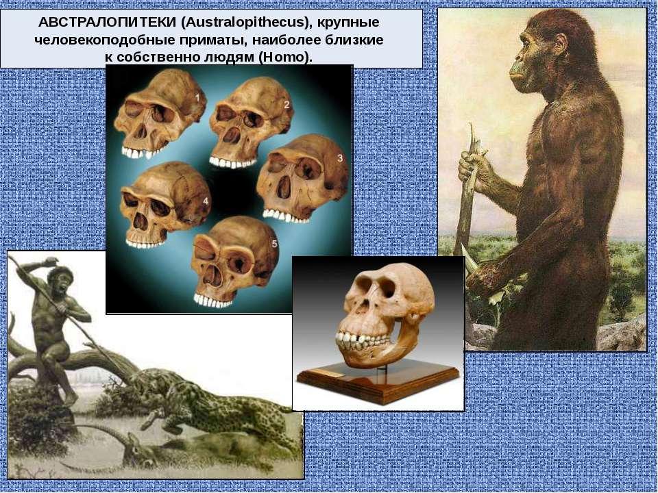 АВСТРАЛОПИТЕКИ (Australopithecus), крупные человекоподобные приматы, наиболее...