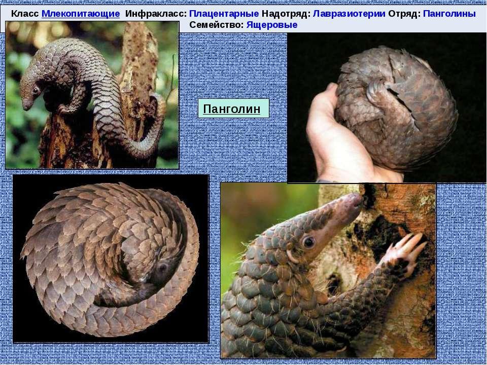 Класс Млекопитающие Инфракласс: Плацентарные Надотряд: Лавразиотерии Отряд: П...