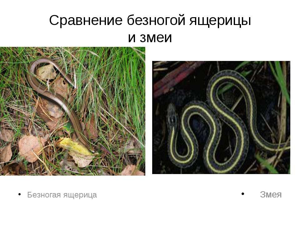 Сравнение безногой ящерицы и змеи Безногая ящерица Змея