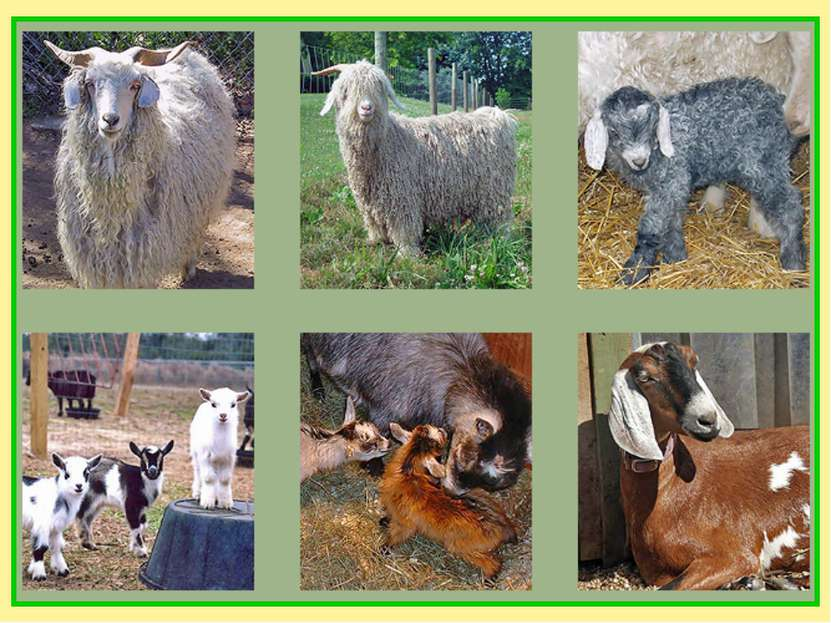 Коза была одомашнена 8-9 тысяч лет назад на Ближнем Востоке. Этих животных ра...