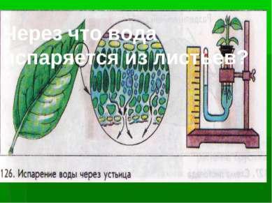 Через что вода испаряется из листьев?