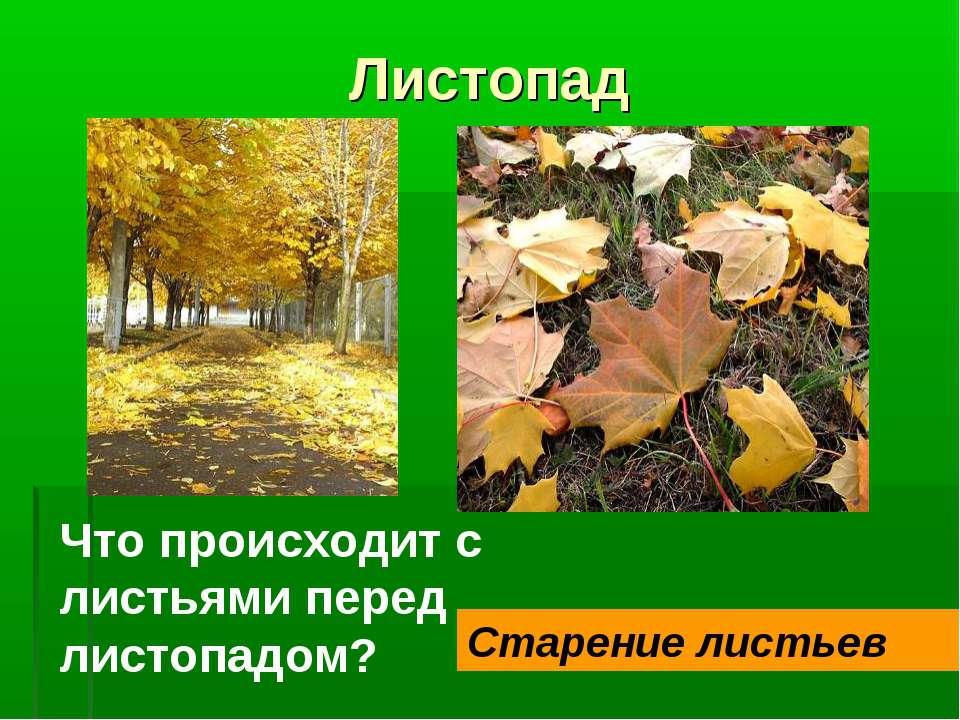 Листопад Что происходит с листьями перед листопадом? Старение листьев