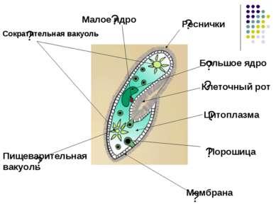 ? ? ? ? ? ? ? Клеточный рот ? Мембрана Цитоплазма Реснички Сократительная вак...