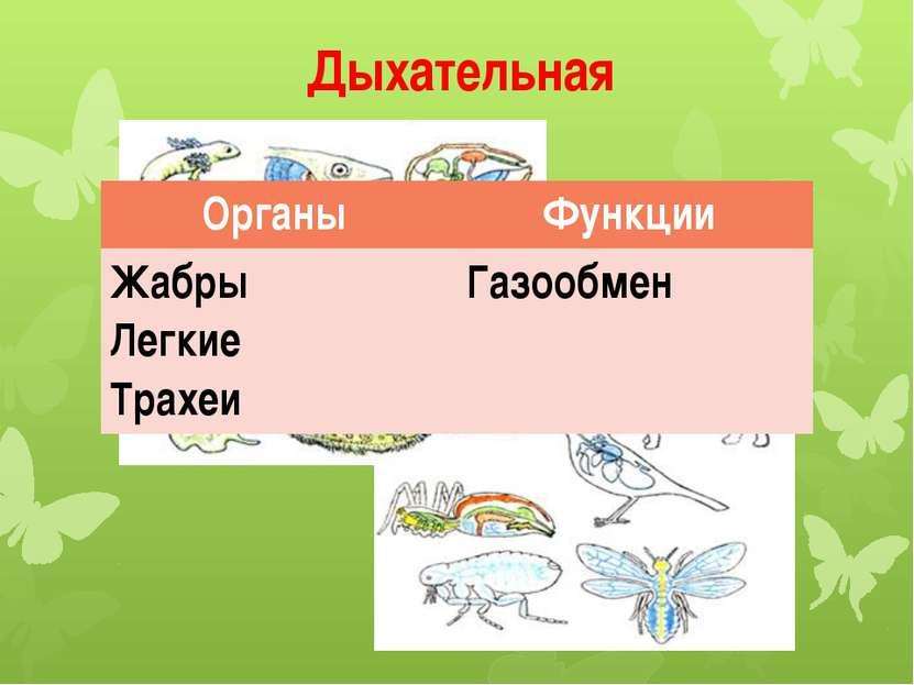 Дыхательная Органы Функции Жабры Легкие Трахеи Газообмен