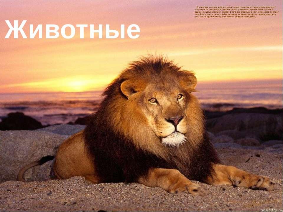 В наши дни только в Африке можно увидеть огромные стада диких животных, кочую...