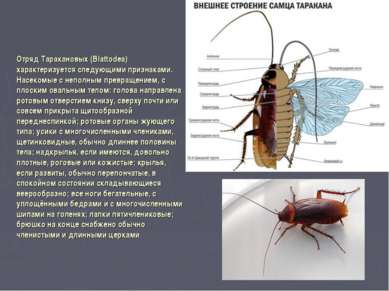 Отряд Таракановых (Вlattodea) характеризуется следующими признаками. Насекомы...