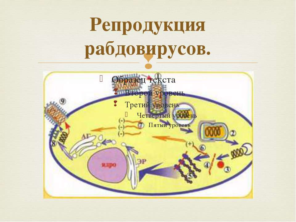 Репродукция рабдовирусов.