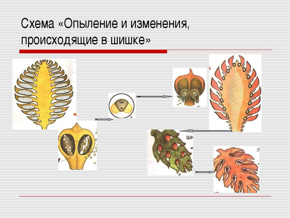 Схема «Опыление и изменения, происходящие в шишке»