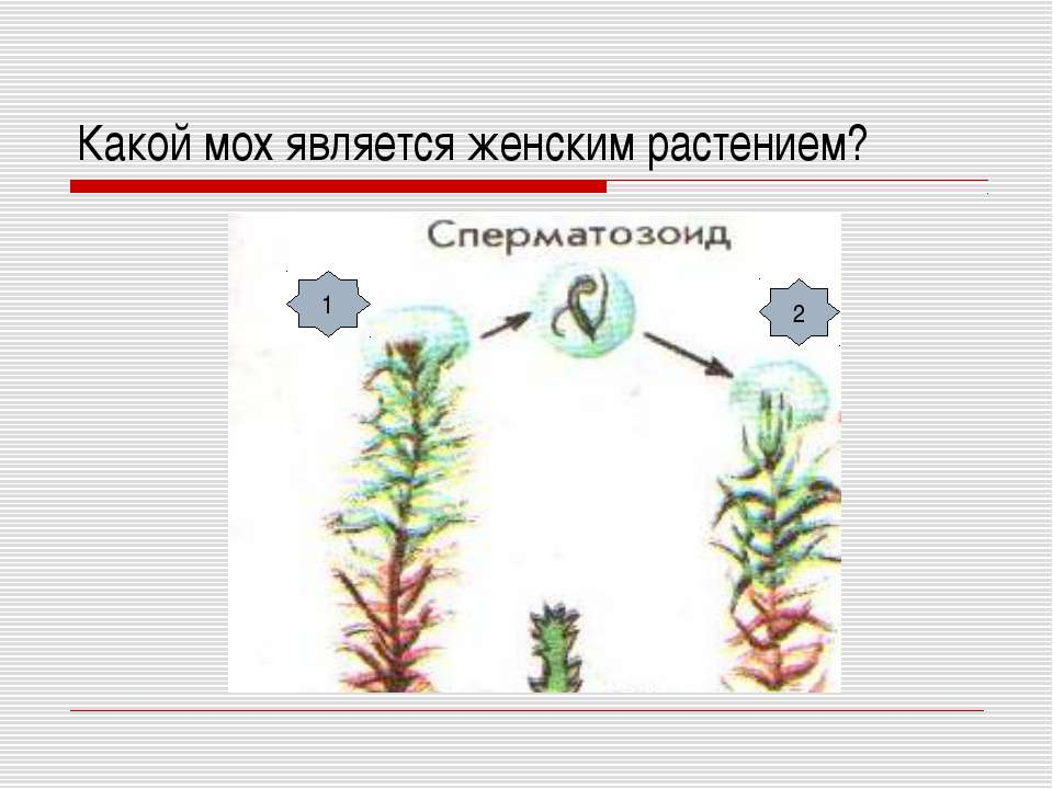 Какой мох является женским растением? 1 2