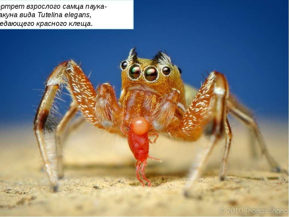 Портрет взрослого самца паука-скакуна вида Tutelina elegans, поедающего красн...