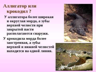 Аллигатор или крокодил ? У аллигатора более широкая и округлая морда, а зубы ...