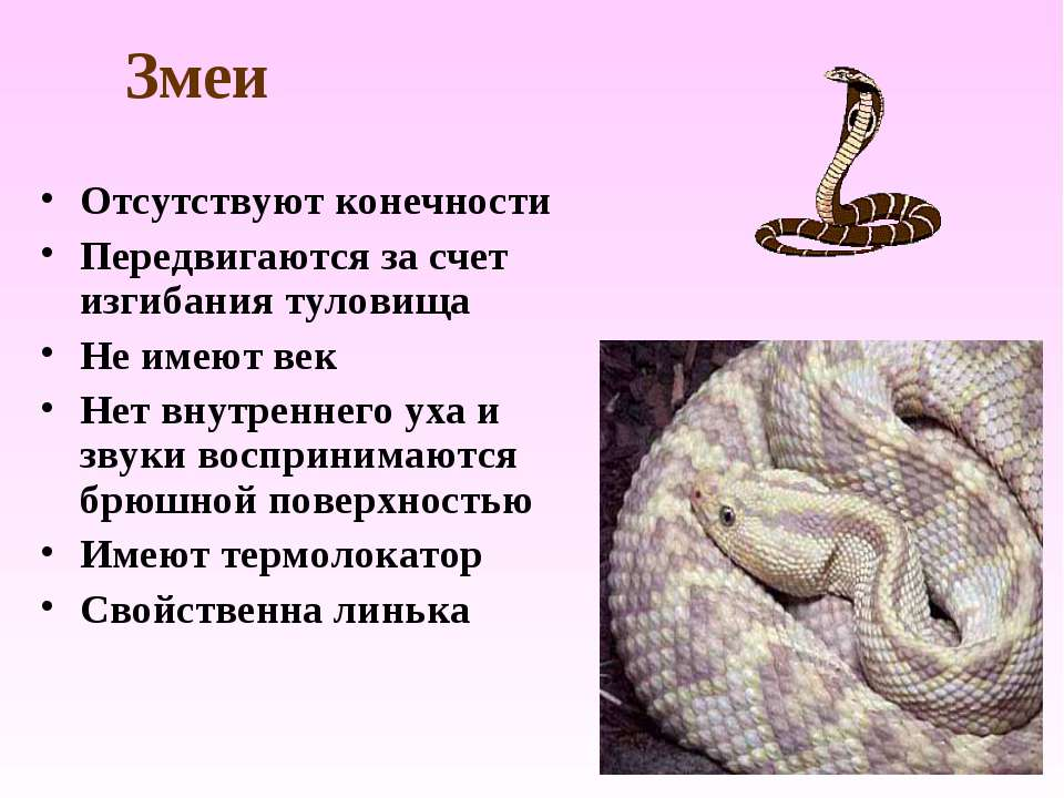 Змеи Отсутствуют конечности Передвигаются за счет изгибания туловища Не имеют...