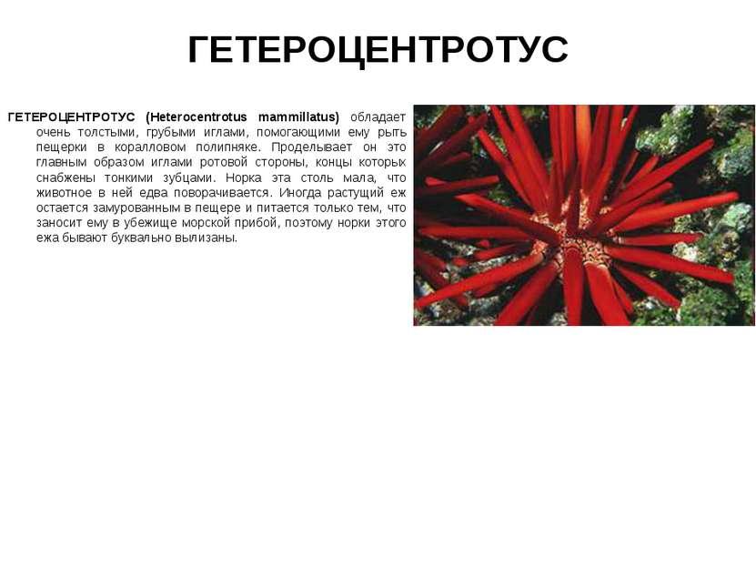 ГЕТЕРОЦЕНТРОТУС ГЕТЕРОЦЕНТРОТУС (Heterocentrotus mammillatus) обладает очень ...