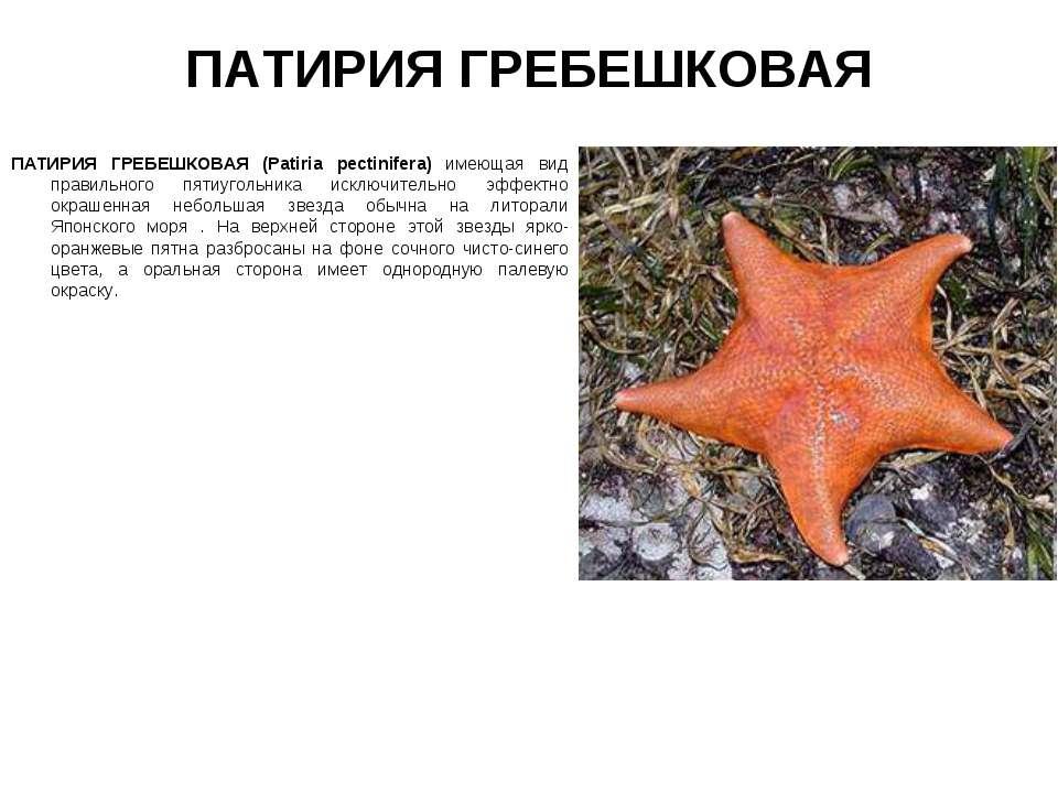 ПАТИРИЯ ГРЕБЕШКОВАЯ ПАТИРИЯ ГРЕБЕШКОВАЯ (Patiria pectinifera) имеющая вид пра...