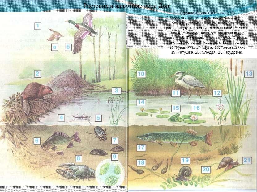Растения и животные реки Дон 1. Утка-кряква: самка (а) и самец (б). 2.Бобр, е...