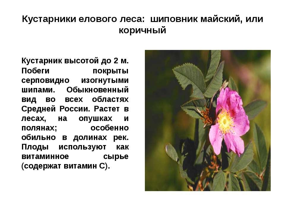Кустарники елового леса: шиповник майский, или коричный Кустарник высотой до ...