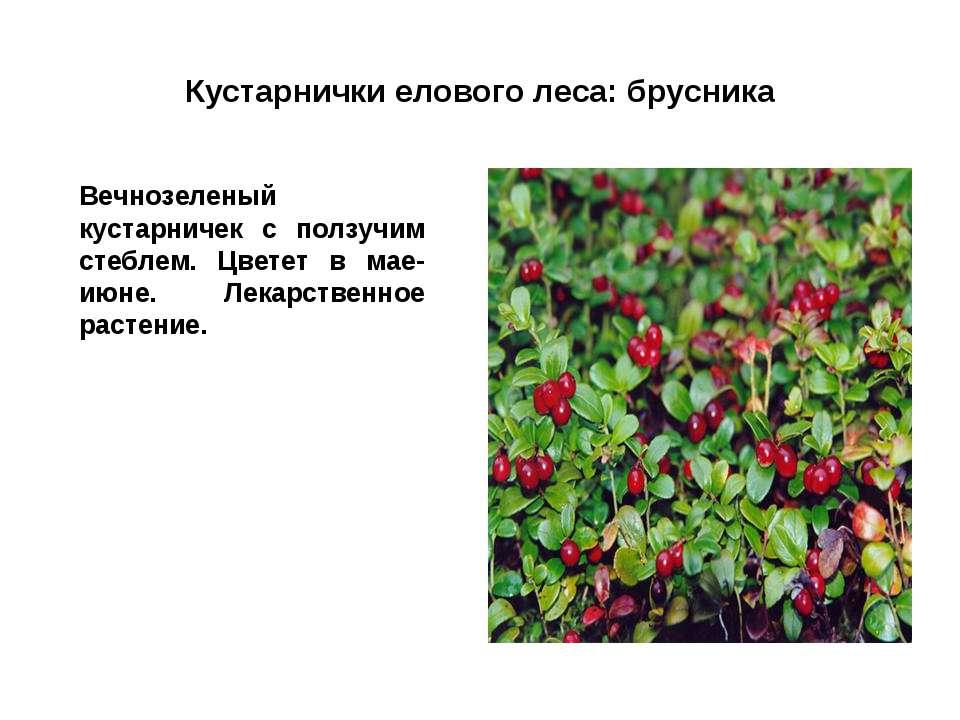 Кустарнички елового леса: брусника Вечнозеленый кустарничек с ползучим стебле...