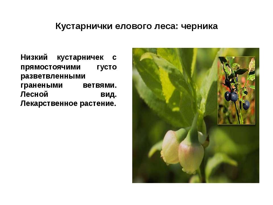 Кустарнички елового леса: черника Низкий кустарничек с прямостоячими густо ра...