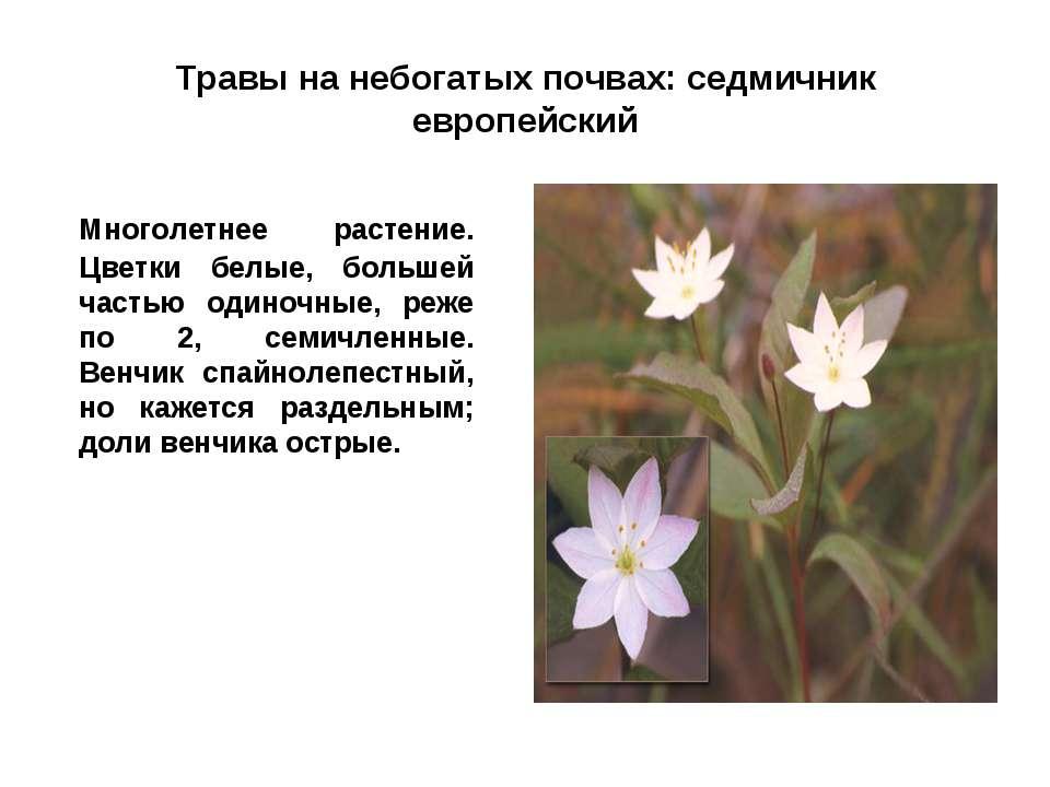 Травы на небогатых почвах: седмичник европейский Многолетнее растение. Цветки...