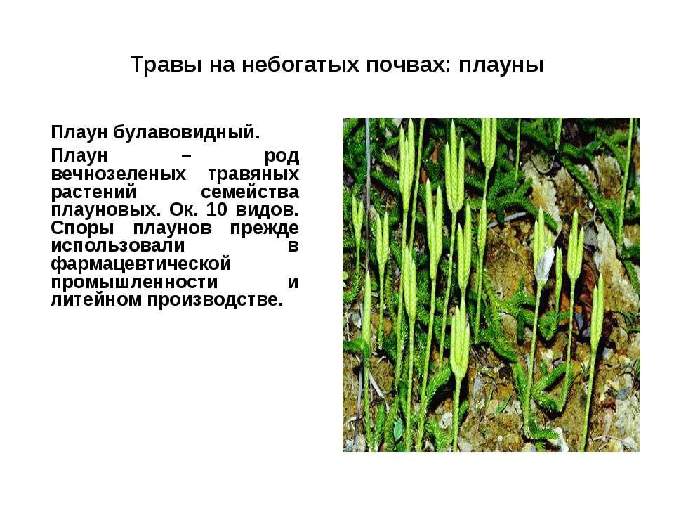 Травы на небогатых почвах: плауны Плаун булавовидный. Плаун – род вечнозелены...