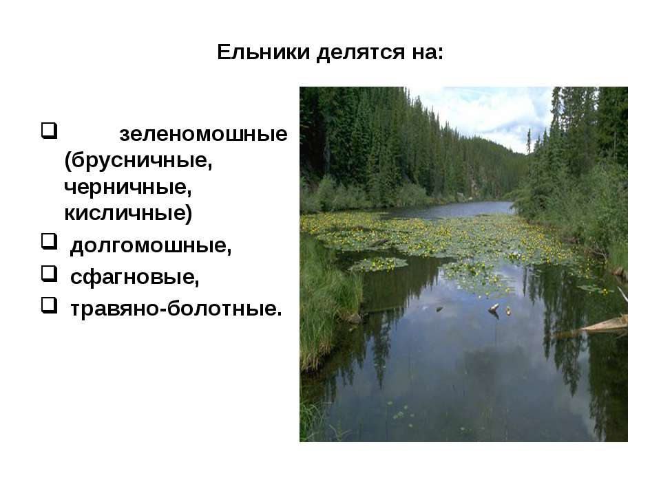Ельники делятся на: зеленомошные (брусничные, черничные, кисличные) долгомошн...