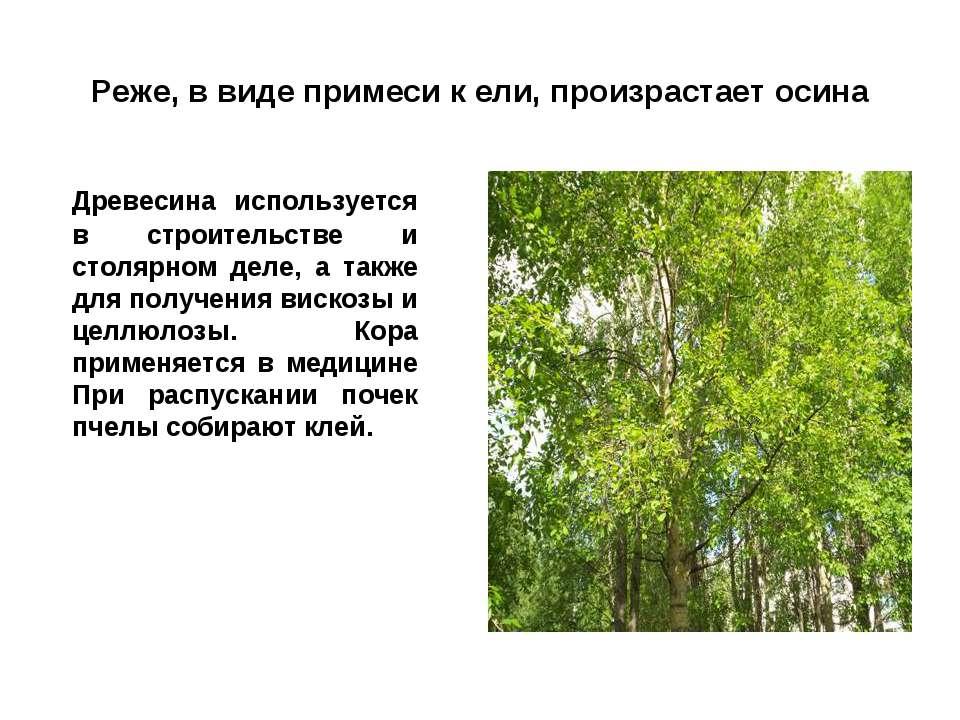 Реже, в виде примеси к ели, произрастает осина Древесина используется в строи...