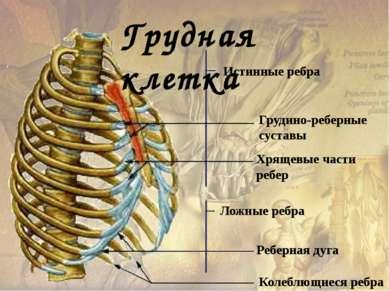 Ключица Лопатка Плечевая кость Локтевая кость Лучевая кость Кости запястья Фа...