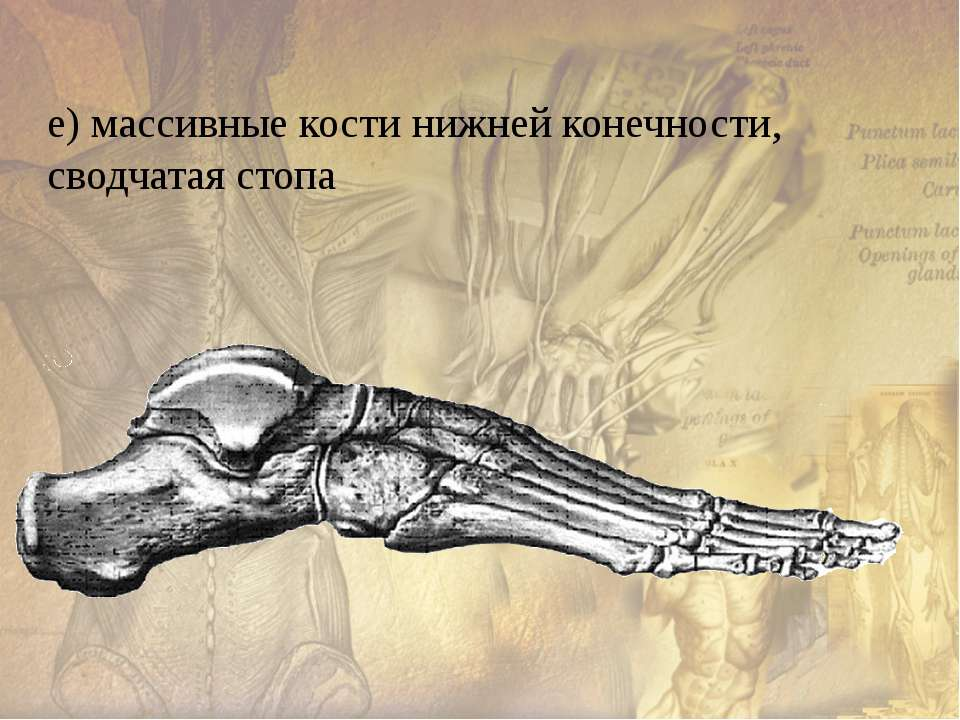 Мышцы человека Всего в теле человека около 600 скелетных мышц, которые состав...