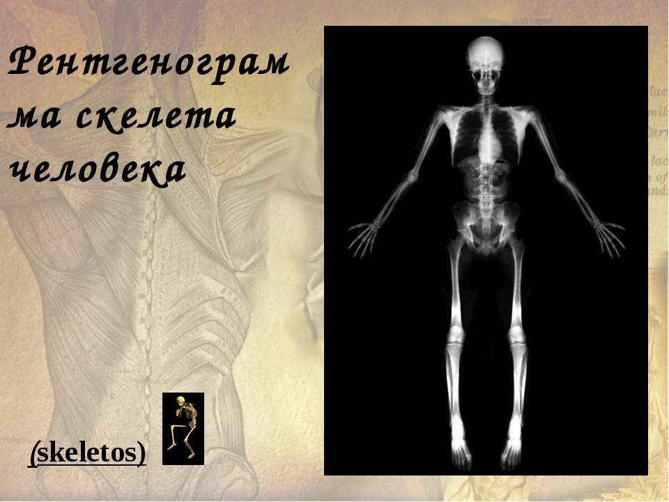 Рентгенограмма скелета человека (skeletos)