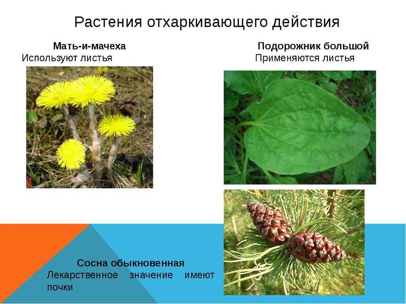 Растения отхаркивающего действия Мать-и-мачеха Используют листья Подорожник б...