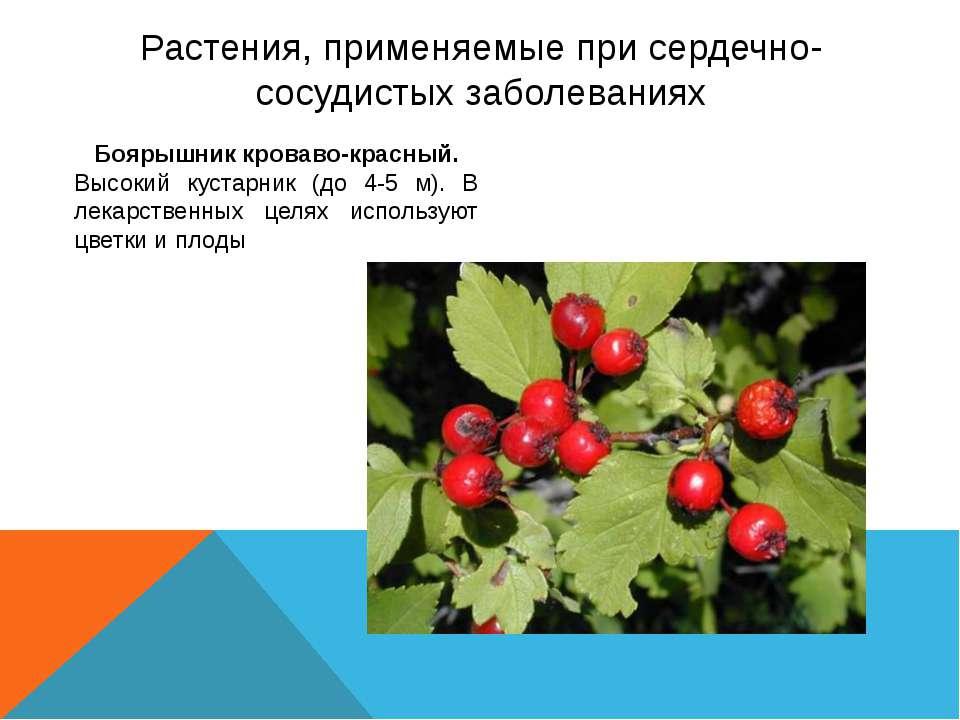 Растения, применяемые при сердечно-сосудистых заболеваниях Боярышник кроваво-...