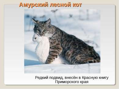 Амурский лесной кот Редкий подвид, внесён в Красную книгу Приморского края