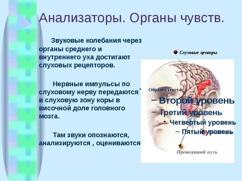 Анализаторы. Органы чувств. Звуковые колебания через органы среднего и внутре...