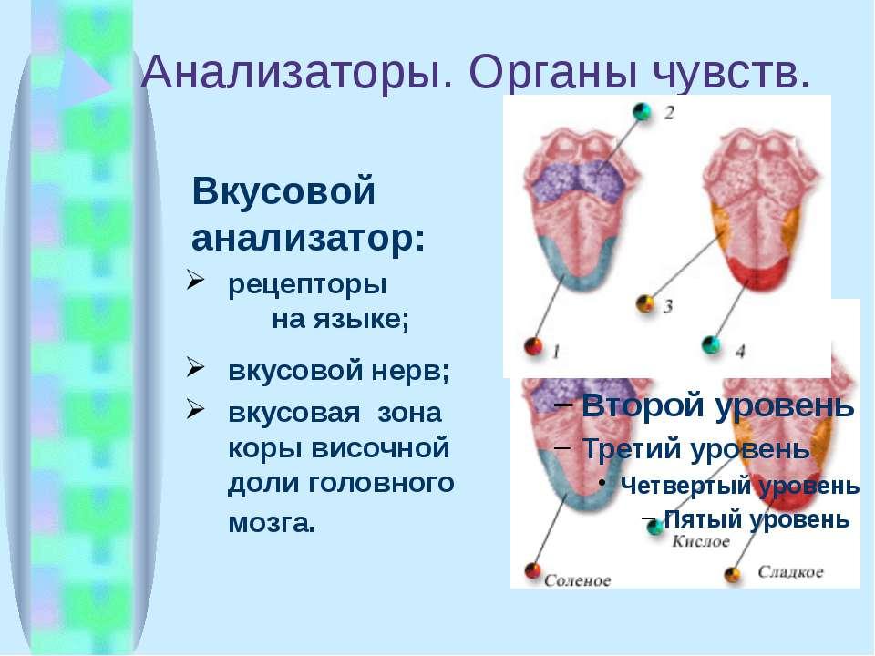 Анализаторы. Органы чувств. Вкусовой анализатор: рецепторы на языке; вкусовой...