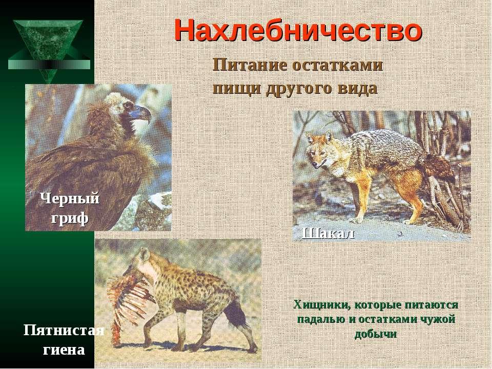 Нахлебничество Питание остатками пищи другого вида Шакал Черный гриф Пятниста...