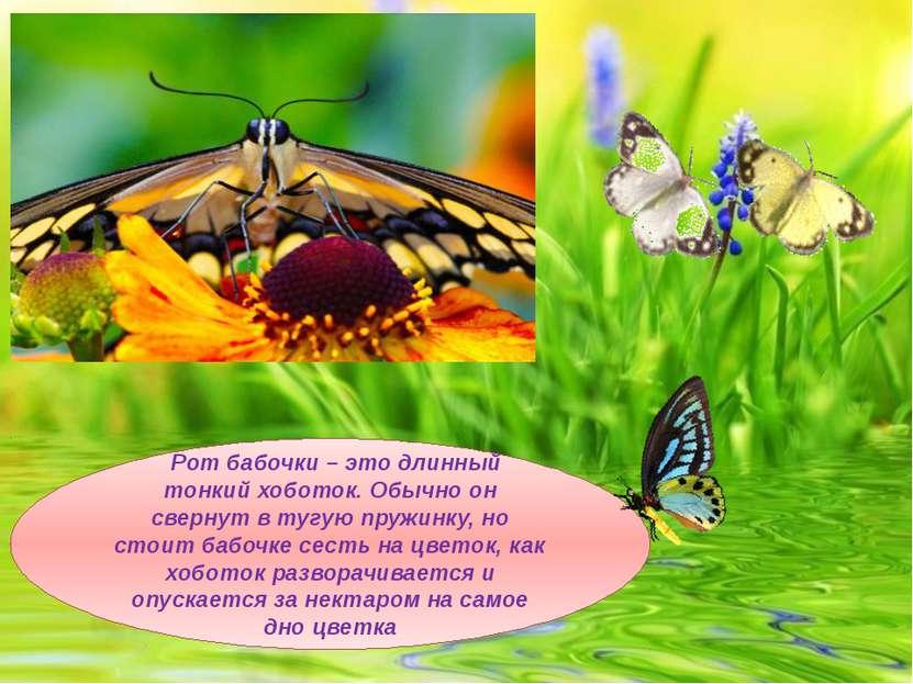 Рот бабочки – это длинный тонкий хоботок. Обычно он свернут в тугую пружинку,...