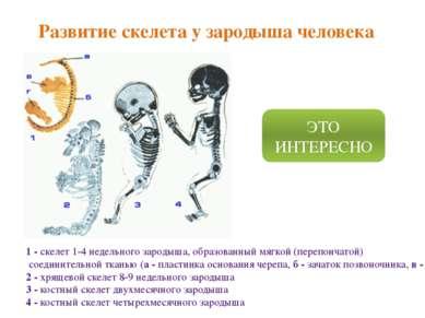 Развитие скелета у зародыша человека 1 - скелет 1-4 недельного зародыша, обра...