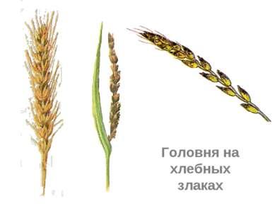 Головня на хлебных злаках