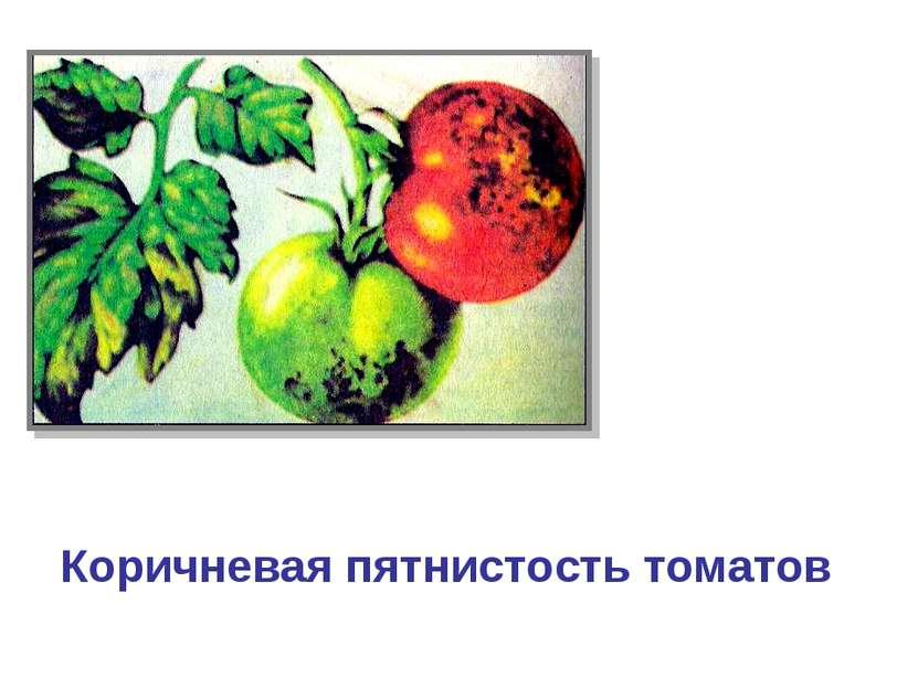 Коричневая пятнистость томатов