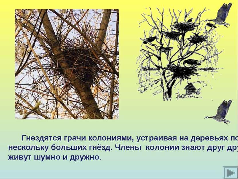 Гнездятся грачи колониями, устраивая на деревьях по нескольку больших гнёзд. ...