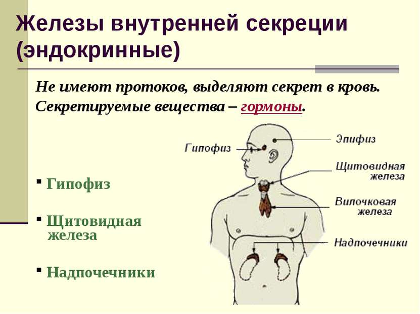 Железы внутренней секреции (эндокринные) Не имеют протоков, выделяют секрет в...