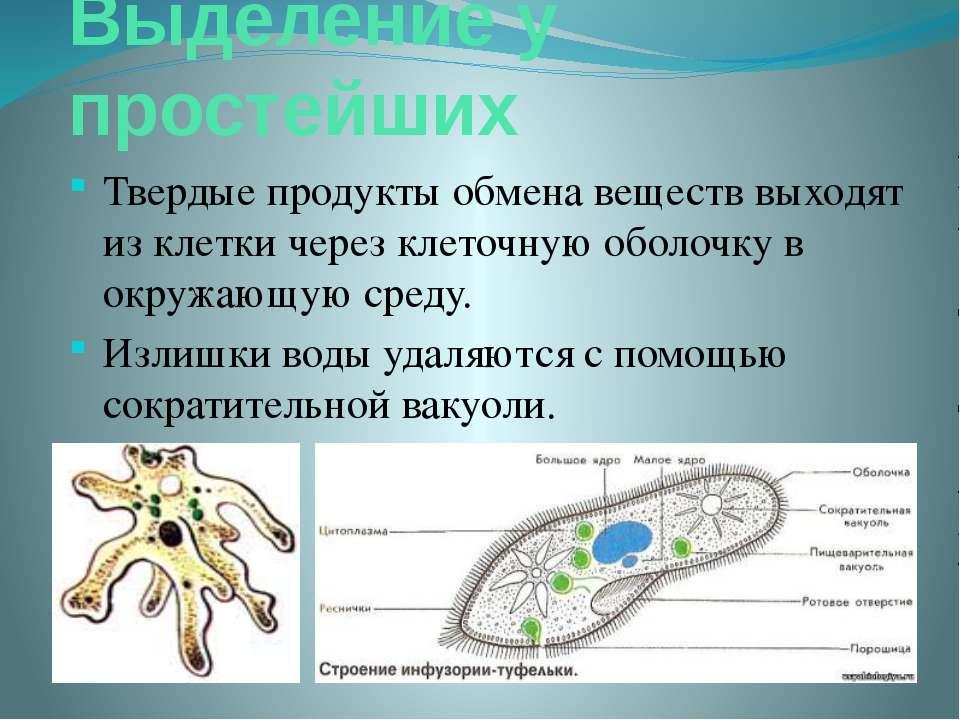 Выделение у простейших Твердые продукты обмена веществ выходят из клетки чере...