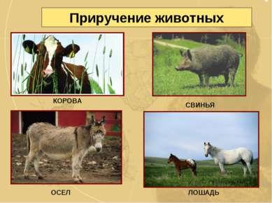 Приручение животных СВИНЬЯ ОСЕЛ ЛОШАДЬ КОРОВА