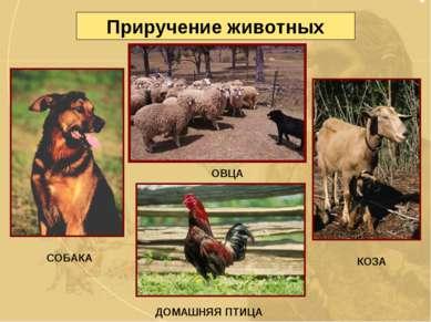 Приручение животных СОБАКА ОВЦА КОЗА ДОМАШНЯЯ ПТИЦА