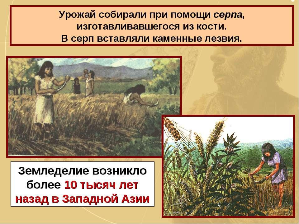 Урожай собирали при помощи серпа, изготавливавшегося из кости. В серп вставля...