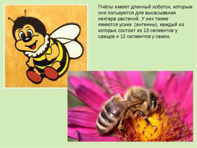 Пчёлы имеют длинныйхоботок, которым они пользуются для высасывания нектара р...