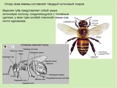 Опорутела пчелысоставляет твердый хитиновый покров. Верхняя губа представля...