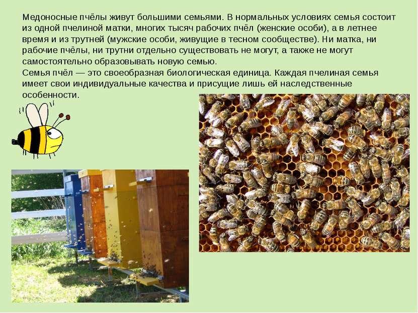 Медоносные пчёлы живут большими семьями. В нормальных условиях семья состоит ...