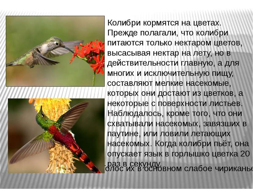 Колибри кормятся на цветах. Прежде полагали, что колибри питаются только нект...